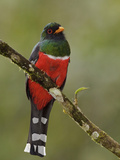 A Masked Trogon (Trogon Personatus Assimilis) Perched on a Branch  Tandayapa Valley  Ecuador