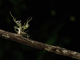 Tillandsia Bromeliad on Branch in Rainforest
