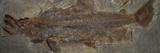 One Million Year Old Sockeye Salmon Fossil  Skokomish River Valley  Olympic Peninsula  Washington