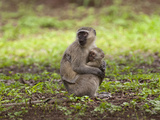 Vervet or Green Monkey Adult Holding its Young (Cercopithecus Aethiops)  South Africa