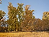 Black Cottonwoods or Balsam Poplars in Autumn Colors (Populus Balsamifera Trichocarpa)  Chester