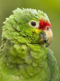 Red Lored Amazon Parrot (Amazona Autumnalis Autumnalis)  Costa Rica