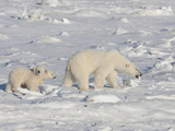 Polar Bear (Ursus Maritimus) Sow Walking with Two Cubs on Ice  Churchill  Manitoba  Canada