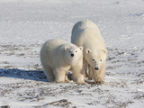 Polar Bear (Ursus Maritimus) Pair Walking on Ice  Churchill  Manitoba  Canada