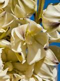 Mojave Yucca Flowers (Yucca Schidigera)  Joshua Tree National Park  California  Mojave Desert  USA
