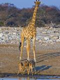 Black Faced Impala  Aepyceros Melampus Ptersi  and Savannah Giraffe at Waterhole