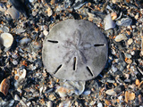 Sand Dollar Bleached Skeleton on Beach (Mellita Quinquiesperforata)  South Carolina  USA