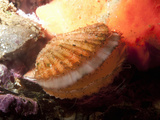 Giant Rock Scallop (Crassadoma Gigantea)