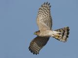 Sharp-Shinned Hawk Adult in Flight