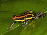 Poison Dart Frog with Red Stripes (Dendrobates Uakarii) Crawling on a Wet Leaf