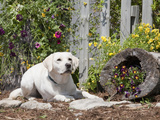 Labrador Retriever Sitting in a Garden  MR