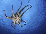Day Octopus (Octopus Cyanea) Swimming as Seen from Below  Showing its Tentacles and Suckers