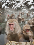 Japanese Macaque or Snow Monkeys (Macaca Fuscata) with Young in a Hot Spring  Jigokudani Park