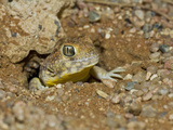 Barking Gecko at a Burrow Entrance (Ptenopus Garrulus)  Namib-Naukluft National Park  Namibia
