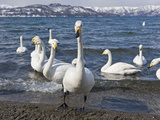 Whooper Swan (Cygnus Cygnus)  Lake Kussharo  Hokkaido Island  Japan