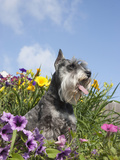 Miniature Schnauzer Sitting in a Flower Bed  MR