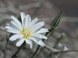 Desert Chicory (Rafinesquia Neomexicana)  Joshua Tree National Park  Mojave Desert  California  USA