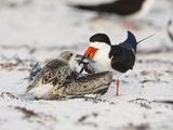 Black Skimmer (Rynchops Niger) Feeding its Chick a Fish in its Sandy Beach Nest