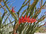 Ocotillo  Joshua Tree National Park  California  Mojave Desert