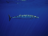 Ono or Wahoo (Acanthocybium Solandri) a Relative of the King Mackerel