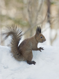 Eurasian Red Squirrel (Sciurus Vulgaris Orientis)  Near Lake Kussharo  Hokkaido Island  Japan
