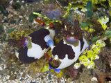 Nudibranchs (Nembrotha Rutilans) Mating at Ambon Island  Indonesia