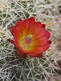 Claret Cup Cactus Flower (Echinocereus Triglochidiatus Melanacanthus)  Capitol Reef National Park