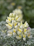 Yellow Bush Lupine (Lupinus Arboreus)  Inyo National Forest  California  USA