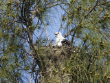 Swallow-Tailed Kite on its Nest (Elanoides Forficatus)