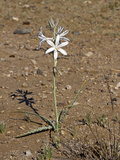 Desert Lily (Hesperocallis Undulata)  Joshua Tree National Park  California  Mojave Desert  USA
