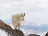 Mountain Goat (Oreamnos Americanus)  Rocky Mountains  USA