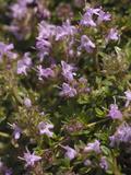 Wild Thyme (Thymus Polytrichus)  Scotland  UK