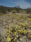 Desert Dandelion (Malacothrix Glabrata) Spring Wildflowers Among Creosote Bushes