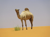 Camel in the Sahara Desert  Mauritania