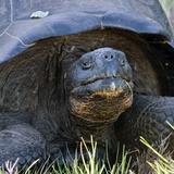 Galapagos Tortoise Head (Geochelone Elephantopus)  Urbina Bay  Isabela Island  Galapagos Islands