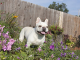 French Bulldog Standing in a Flower Garden  MR D2829