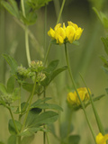 Greater Bird's-Foot or Big Trefoil  (Lotus Pedunculatus)  Fleet Valley  Scotland  UK