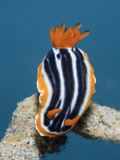 Pyjama Nudibranch (Chromodoris Magnifica)  Lembeh Strait  North Sulawesi  Indonesia