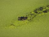 American Alligator  Alligator Mississippiensis  Peering Through Duckweed