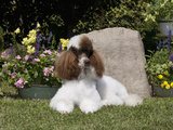 Standard Poodle Sitting in a Yard  MR