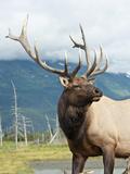 Bull Elk (Cervus Elaphus)  Alaska  USA