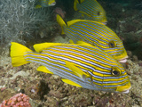 Ribbon Sweetlips (Plectorhinchus Polytaenia) Wait in Line for their Turns at Cleaning Station