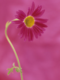 Painted Daisy Flower (Chrysanthemum Coccineum)  the Plant Source for the Insecticide Pyrethrum