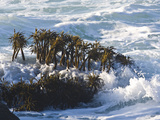 Sea Palms Moving in the Waves  (Postelsia Palmaeformis) Is a Brown Algae  Northern California Coast