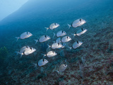 Shoal of Two-Banded Seabreams (Diplodus Vulgaris)  Les Ferranelles  Medes Islands  Costa Brava