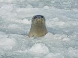 Harbor Seal in Icy Water  Phoca Vitulina  Prince William Sound  Alaska  USA  Family Phocidae