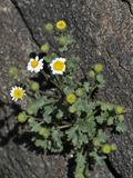 Emory's Rock-Daisy (Perityle Emoryi)  Joshua Tree National Park  Mojave Desert  California