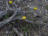 Pale Dandelion (Agoseris Glauca)  Great Basin National Park  Great Basin Desert  Nevada