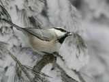 Mountain Chickadee  Poecile Gambeli  with a Seed in its Bill