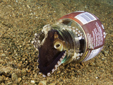 Veined Octopus (Octopus Marginatus) Using a Discarded Bottle for Shelter  Anilao  Philippines